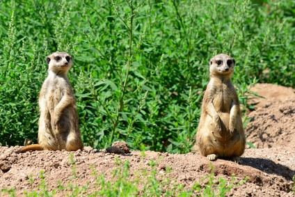 meerkats paying attention to something